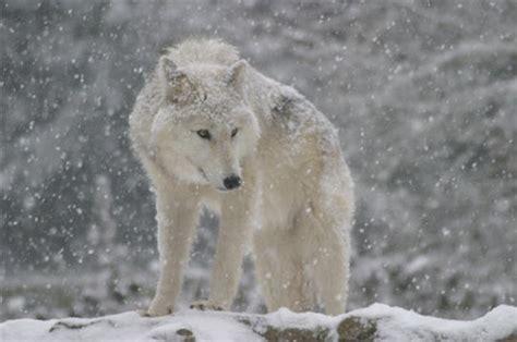 site de recette cuisine les plus belles photos des loups du parc du gévaudan