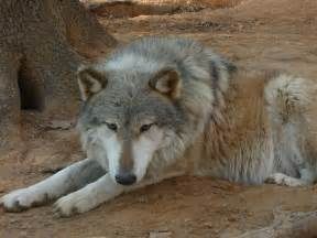 Wolf Hybrid Dogs Pets