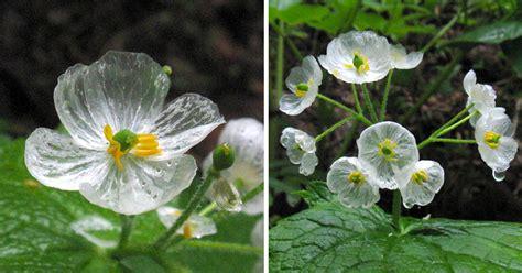 skeleton flower turns  white  translucent