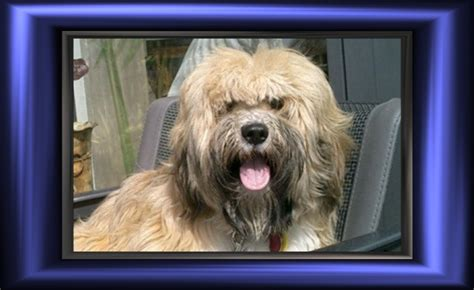 tibetan terriers do they shed tibetan terrier temperament personality breeds picture