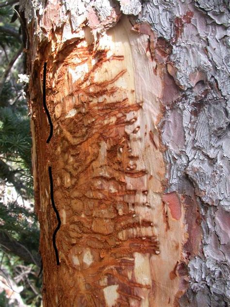spruce beetle field guide  insects  diseases  az