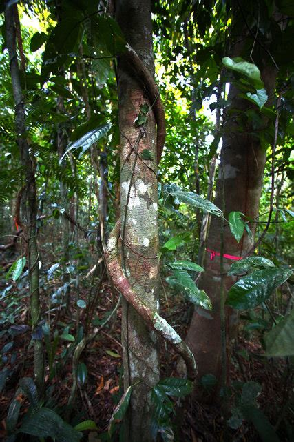 study quantifies liana vines threat  forests