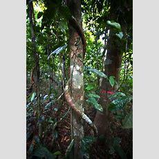 Study Quantifies Liana Vines' Threat To Forests  The New