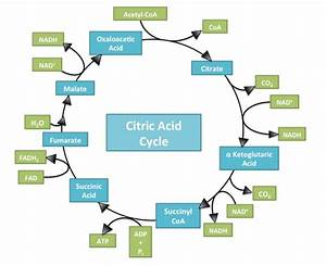 Which Of These Enters The Citric Acid Cycle