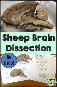 Nervous System  Sheep Brain Dissection
