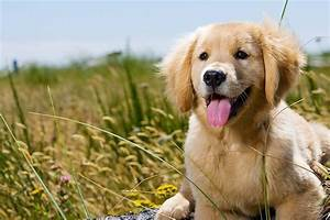 Feeding a Golden Retriever for Optimum Health The Golden