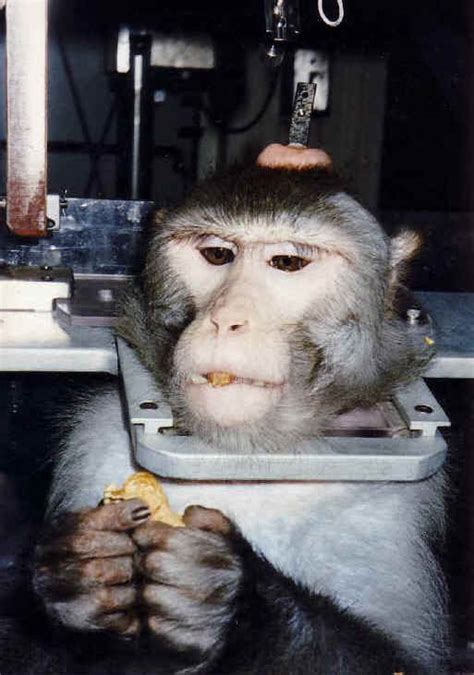 monkeys   primates restraint chair  animal