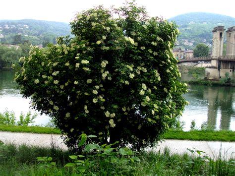 cuisine plantes sauvages comestibles unis vers nature le sureau noir un arbre doublement