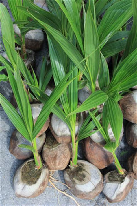 cocos palme pflege palmen 252 berwintern pflege winterharter palmen