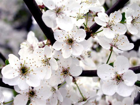 White Flower Background White Roses Wallpapers For Desktop Wallpapersafari
