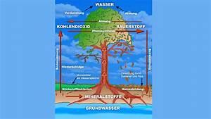 Welche Pflanze Produziert Am Meisten Sauerstoff : b ume wie funktioniert ein baum pflanzen natur planet wissen ~ Frokenaadalensverden.com Haus und Dekorationen
