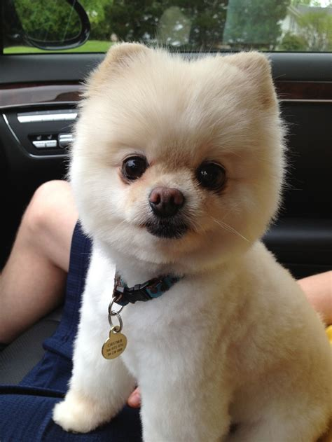 crumb showing   handsome haircut perros pomerania