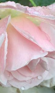 Pin by Angi on I L O V E... | Beautiful roses, Pink ...