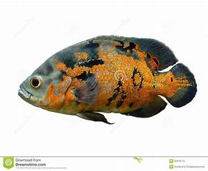 Oscar Fish Isolated Over White Stock Photo - Image: 50979773
