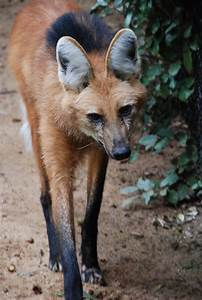 MANED WOLF | XAMOBOX.BLOGSPOT.COM, RELAX