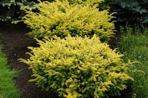 gelbe strauch eibe taxus baccata washingtonii gr 220 n