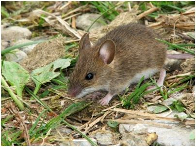 musuh alami hama tikus padi agrokompleks kita