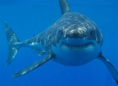Sofa Sleeper San Diego by Amazing Great White Shark Facts Great White Shark Photos