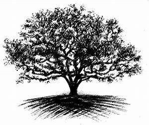 Oak tree drawing | Arbol | Pinterest | Trees, Oak tree ...