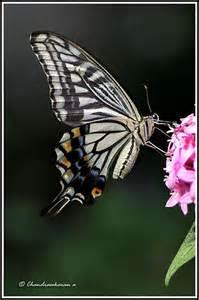 Swallowtail Butterfly Endangered