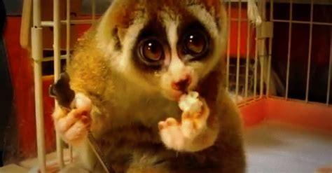 habitat si e social il lori lento è l 39 animale con gli occhi più dolci il