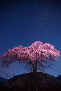 Sakura Baum Kaufen : die besten 25 sakura baum ideen auf pinterest gifu japanisch lila baum und japanische magnolie ~ Frokenaadalensverden.com Haus und Dekorationen
