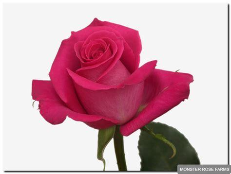 pink roses monster rose farm