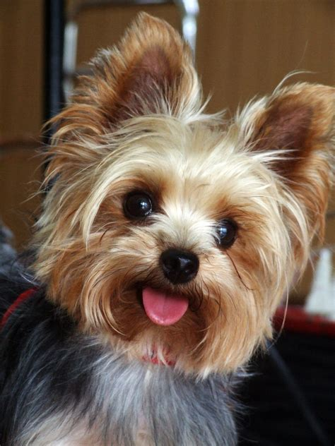 How Much Does A  Ee  Yorkie Ee   And Teacup  Ee  Yorkies Ee   Cost Yorkiep Ion Com