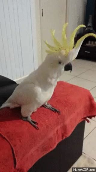 cockatoo dancing  happy  pharrell williams