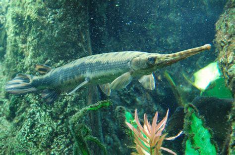 filelongnose gar boston aquariumjpg wikimedia commons