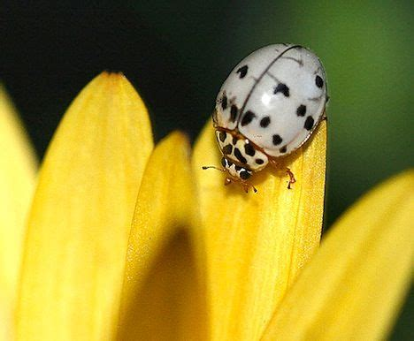 what color is a ladybug amazing ladybugs pics treehugger