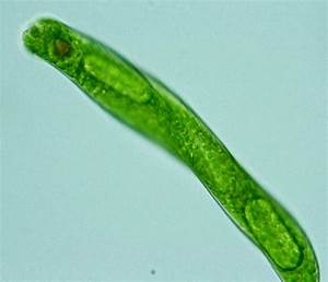 Protist Images  Euglena Oxyuris