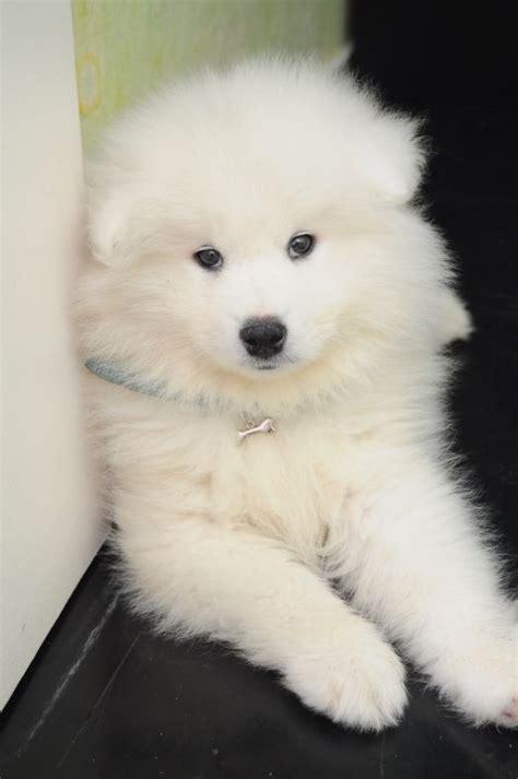 Cute Dog Pet Love Samoyed Dogs Dogs Dog Love