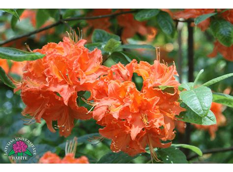 Latvijas stādi - Rhododendron 'Mandarin Lights ...