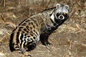 African Civet - A - Z Animals