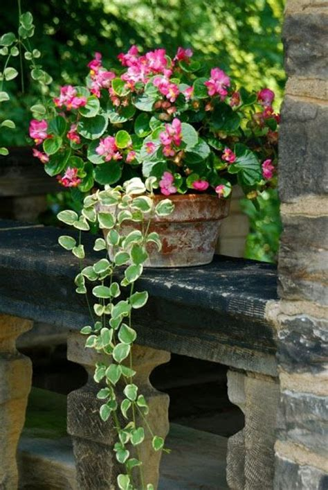 begonia vinca vine container gardening gardens beautiful and summer