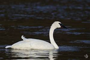 Steve Ting Photography - Trumpeter Swan