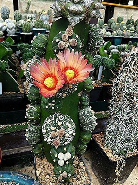 grafted cactus 17 best images about cactus grafting on pinterest gardens cactus and plants