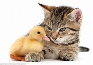 Tiny kittens, cuddly puppies and fluffy ducks pair up for ...