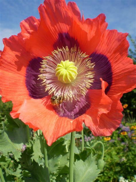 flowers poppies bees of stoney creek poppy flowers in bloom