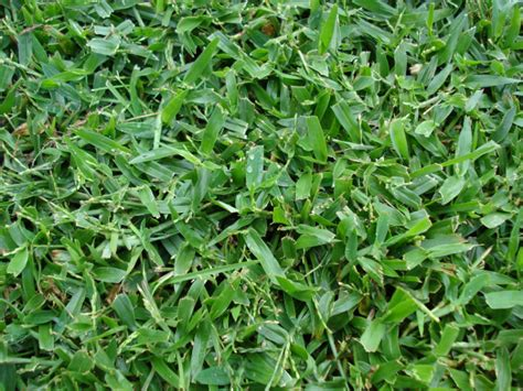 controlling creeping signal grass  central florida lawns