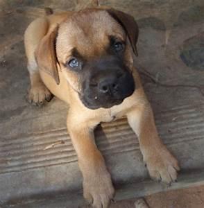 Bullmastiff puppies/ hondjies for Sale in Duiwelskloof ...