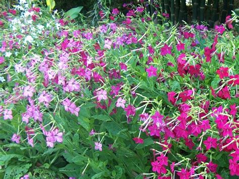 flowering tobacco online plant guide nicotiana alata flowering tobacco
