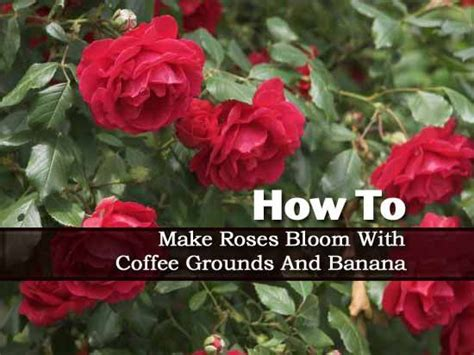 They can be added to new or existing plant beds. How to Make Roses Bloom With Coffee Grounds And Banana | Landscaping | Pinterest | How to make ...