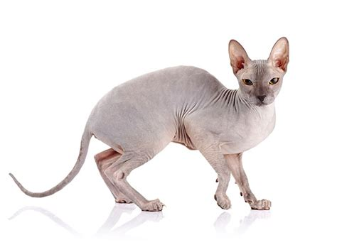 cat sphynx cats breeds hypoallergenic expensive most hairless dog fur breed allergy dogs own issues health petsecure sufferers unlike shed