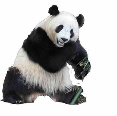 Panda Pandas Bear Animals Animal Transparent Forgetmenot