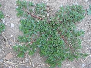 Portulak Pflanzen Kaufen : salat pflanzen salat pflanzen die wichtigsten tipps um ~ Michelbontemps.com Haus und Dekorationen