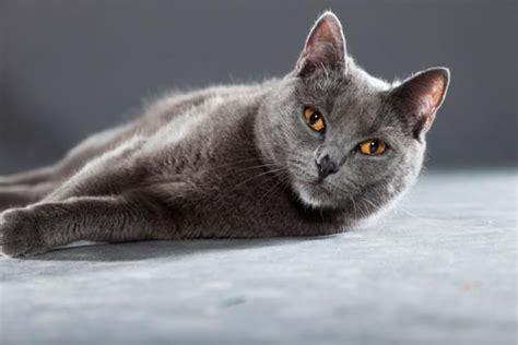 les races de chats gris top