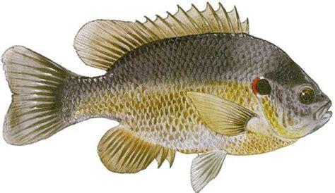 types  freshwater fish  florida   troll bait