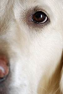 Cataracts in Dogs | VCA Animal Hospital